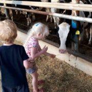מאכילים פרות
